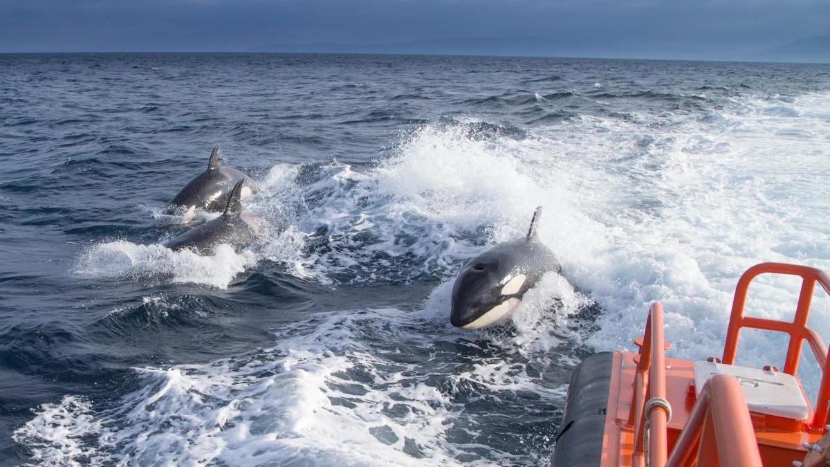 Greifen Orcas Menschen An